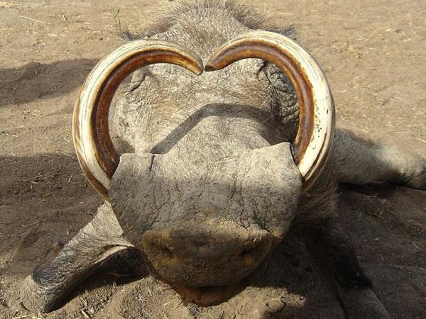 Mauretanien - Warzenschwein