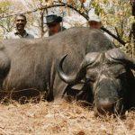 Tanzania – Buffalo