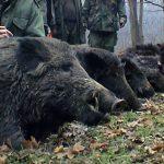 Serbia – Wild Boar Fruska Gora